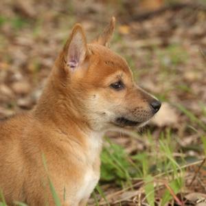 Alpine Dingo pup in Perth