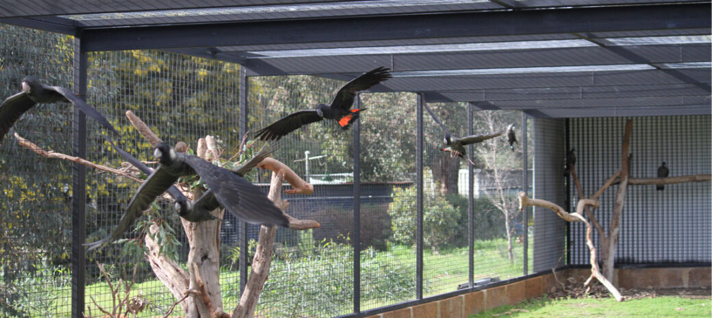 Black Cockatoos in the pre-release aviary