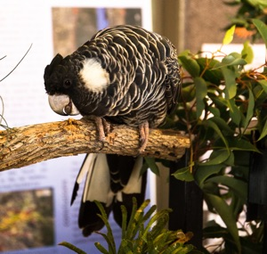 Carnaby's black cockatoo in display at the tour weekend