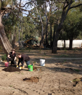 planting native seedlings in the Old Roo Yard
